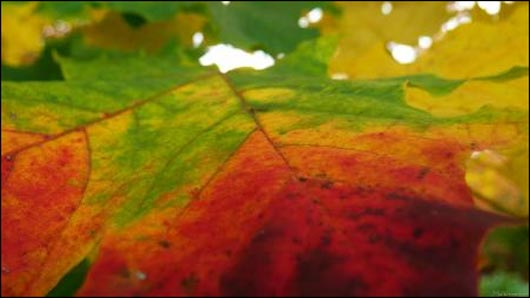 Colors of the Maple Leaf