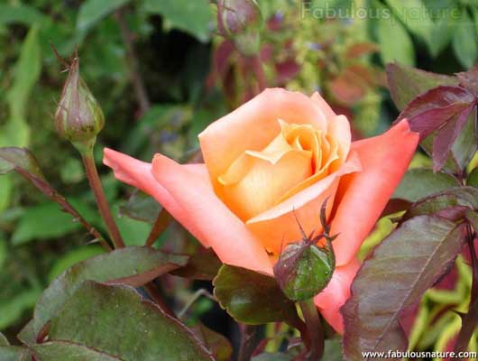 Have A Glance At Rose Photos To See Nature Beauty