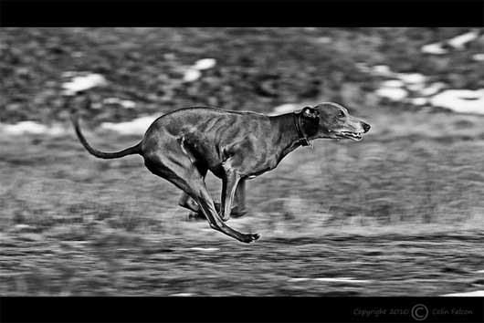 [Mono] Panning shot of Blue the whippet